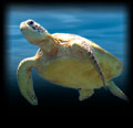 icon_seaturtles
